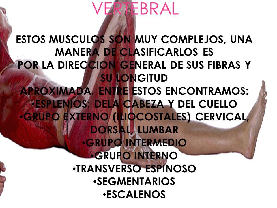 MUSCULOS DE LA COLUMNA VERTEBRAL