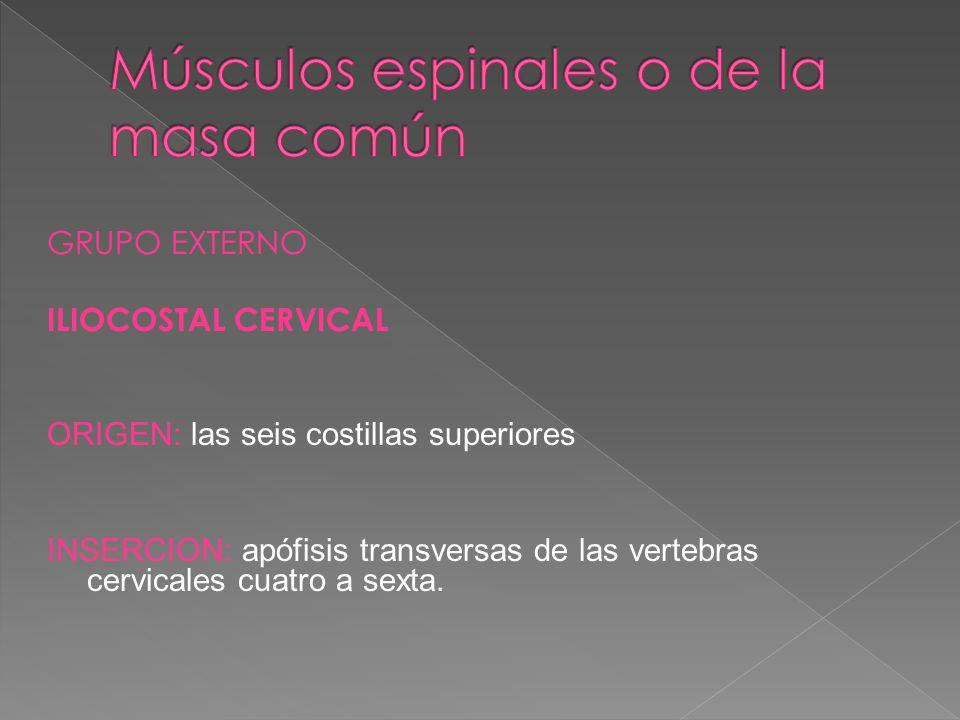Músculos espinales o de la masa común
