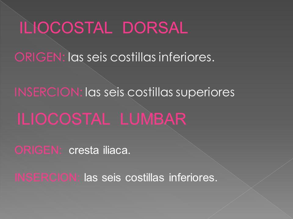 ILIOCOSTAL DORSAL ILIOCOSTAL LUMBAR