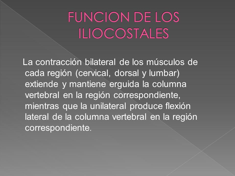 FUNCION DE LOS ILIOCOSTALES