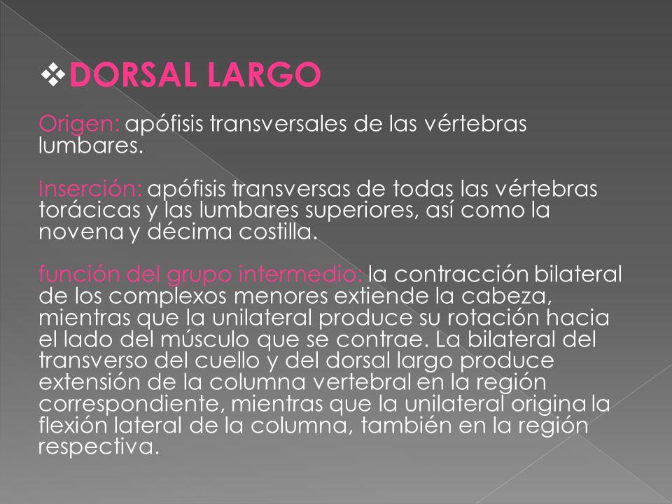 DORSAL LARGO Origen: apófisis transversales de las vértebras lumbares.