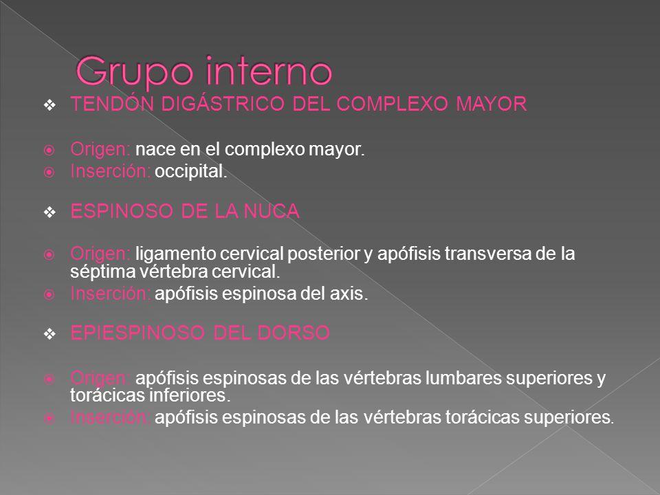 Grupo interno TENDÓN DIGÁSTRICO DEL COMPLEXO MAYOR ESPINOSO DE LA NUCA