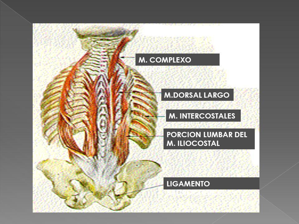M. COMPLEXO MENOR M.DORSAL LARGO. M. INTERCOSTALES.