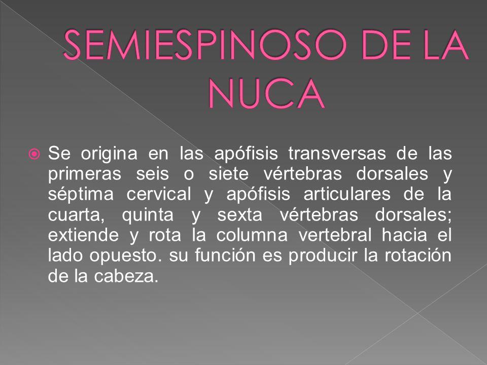 SEMIESPINOSO DE LA NUCA