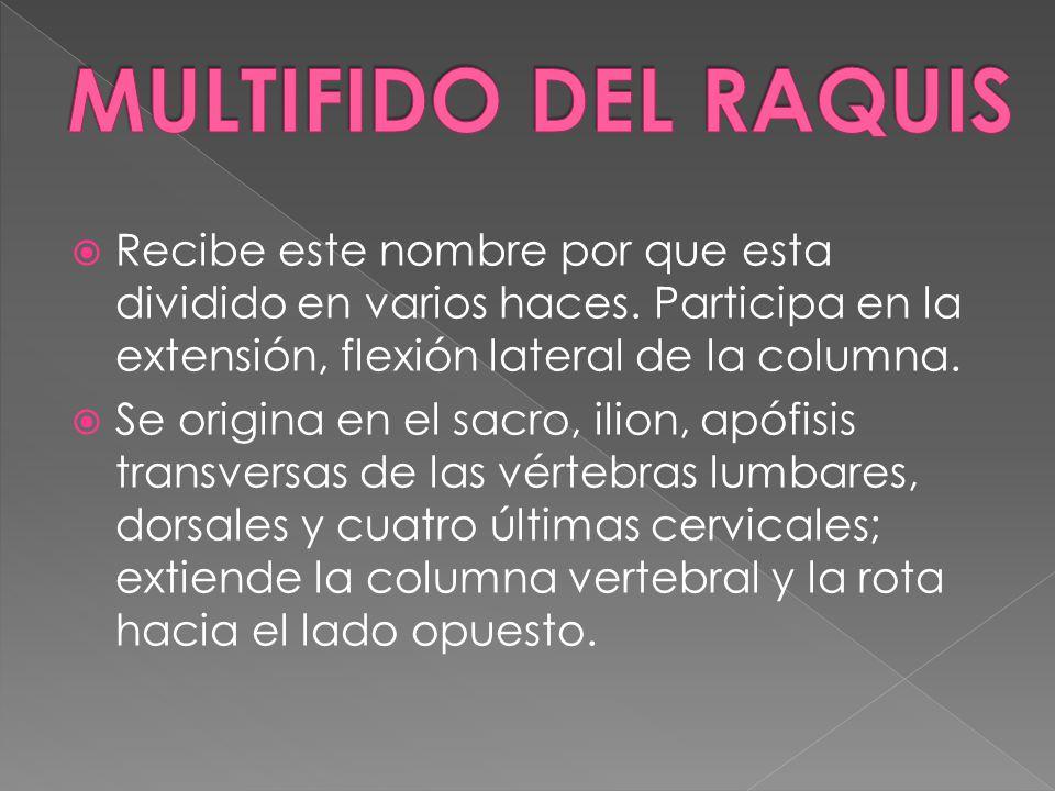 MULTIFIDO DEL RAQUIS Recibe este nombre por que esta dividido en varios haces. Participa en la extensión, flexión lateral de la columna.