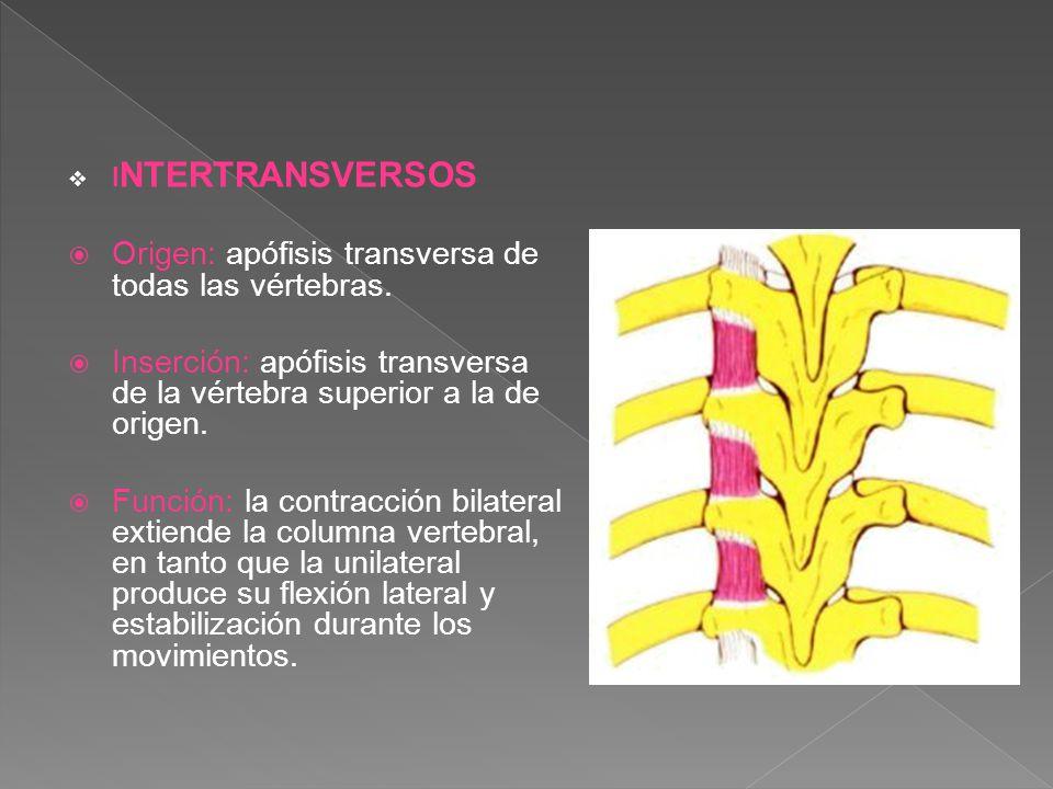 Origen: apófisis transversa de todas las vértebras.