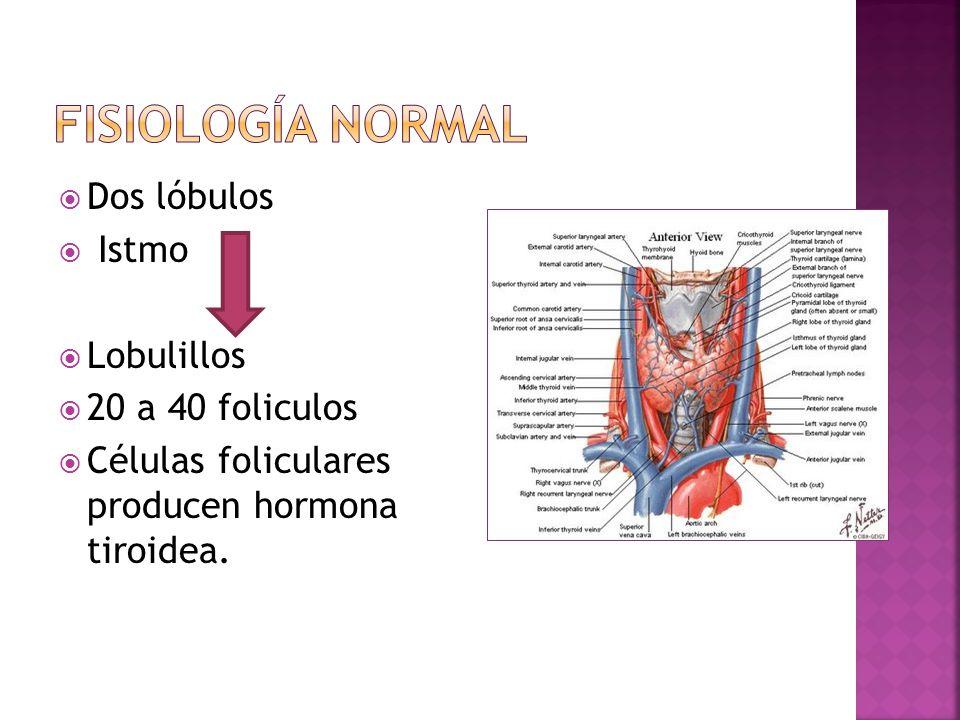 Fisiología normal Dos lóbulos Istmo Lobulillos 20 a 40 foliculos