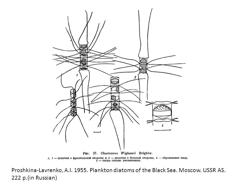 Proshkina-Lavrenko, A. I. 1955. Plankton diatoms of the Black Sea