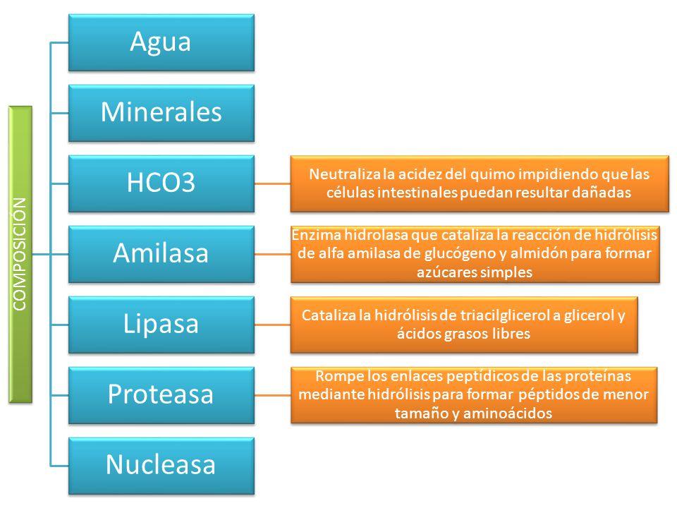 Agua Minerales HCO3 Amilasa Lipasa Proteasa Nucleasa COMPOSICIÓN