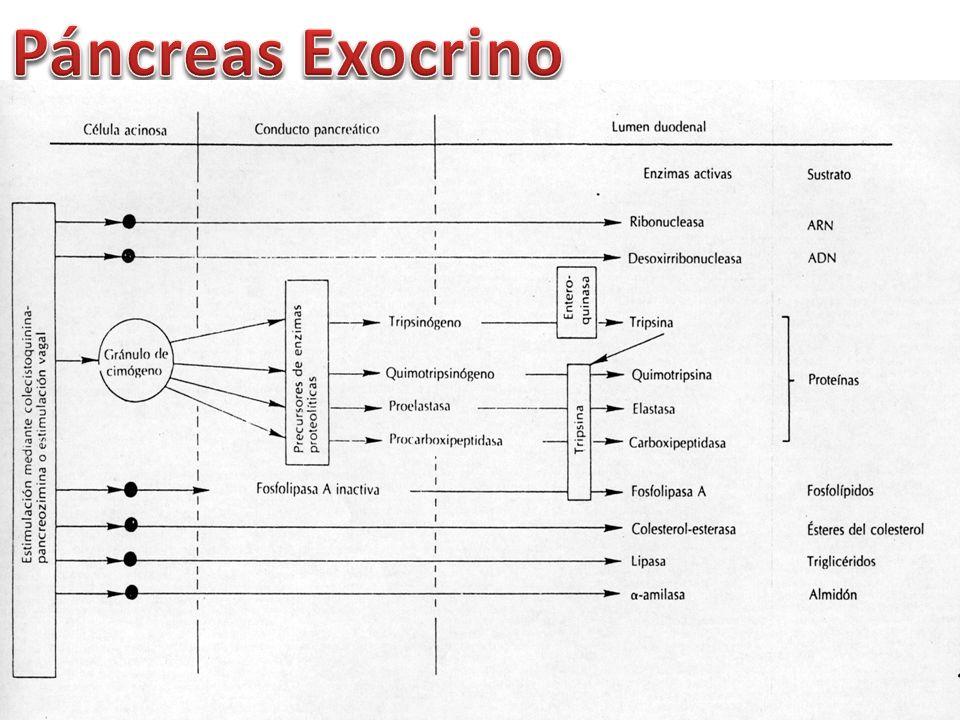 Páncreas Exocrino