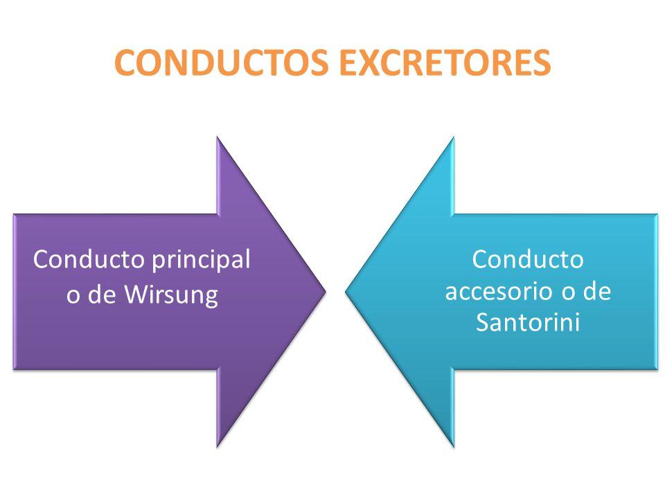 Conductos excretores Conducto principal o de Wirsung