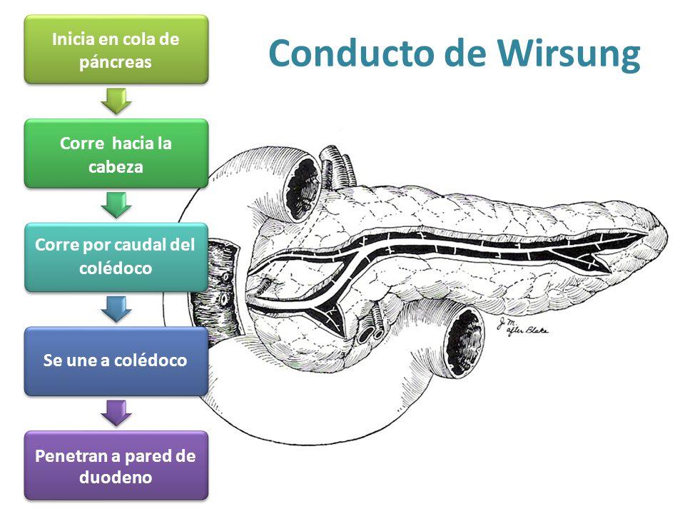 Conducto de Wirsung Corre por caudal del colédoco