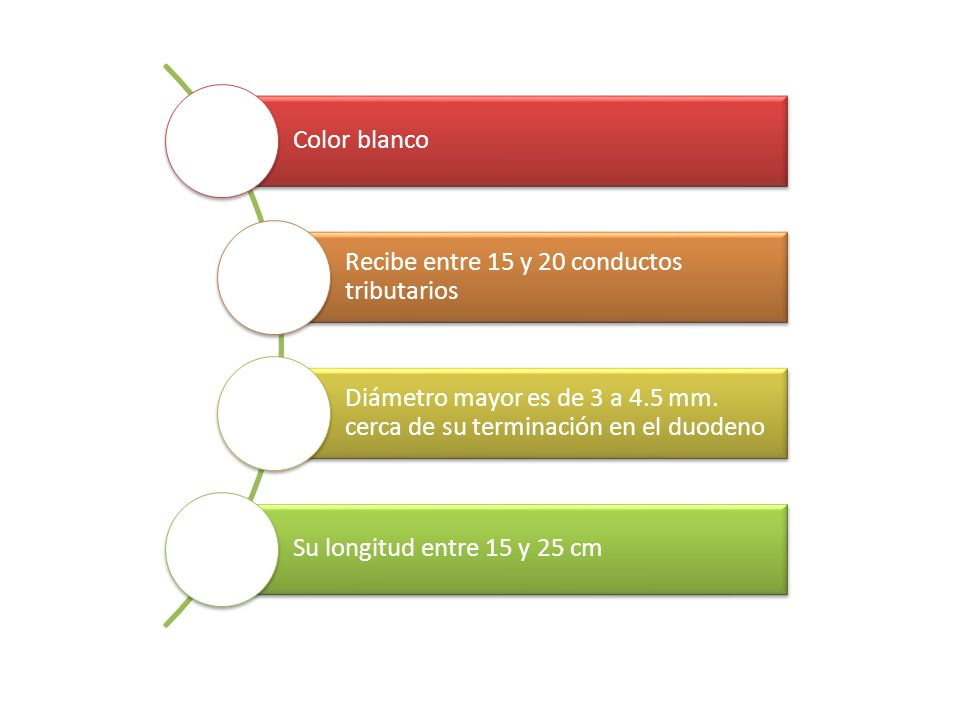 Color blanco Recibe entre 15 y 20 conductos tributarios. Diámetro mayor es de 3 a 4.5 mm. cerca de su terminación en el duodeno.