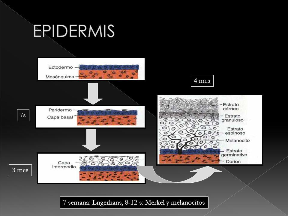 EPIDERMIS 7s 4 mes 3 mes 7 semana: Lngerhans, 8-12 s: Merkel y melanocitos