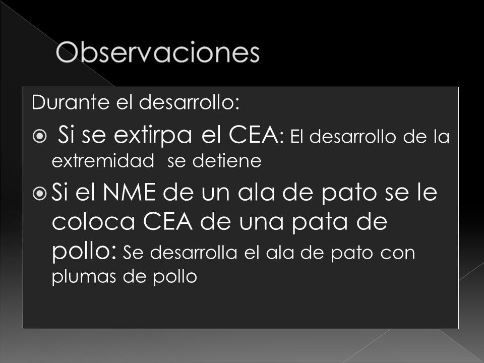 Observaciones Durante el desarrollo: Si se extirpa el CEA: El desarrollo de la extremidad se detiene.