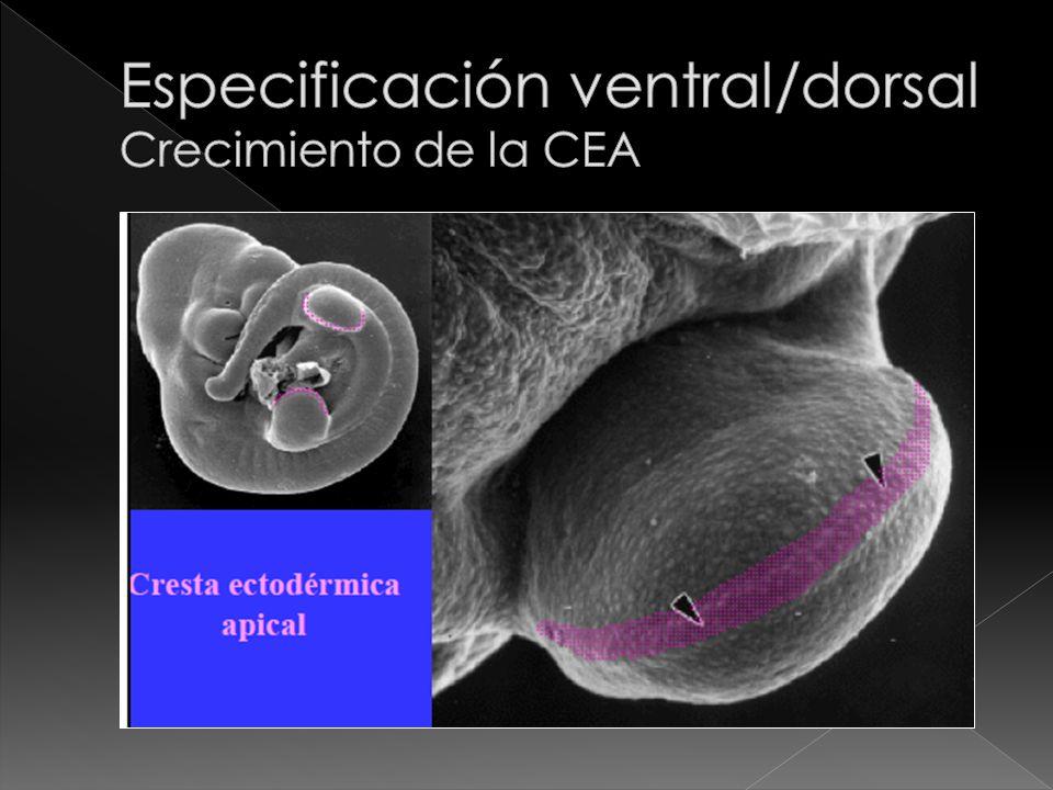 Especificación ventral/dorsal Crecimiento de la CEA