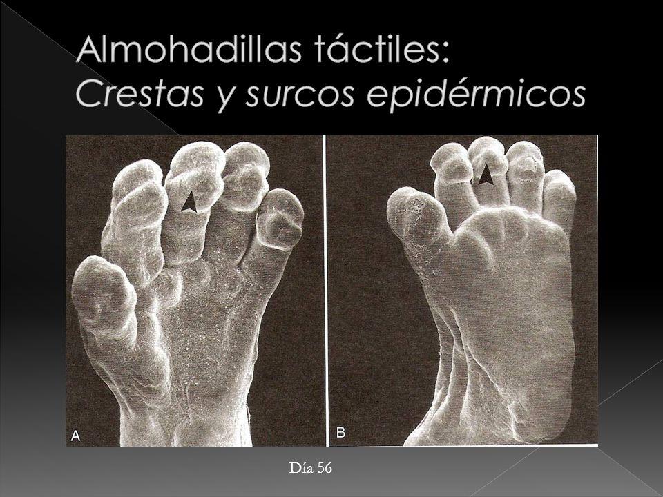 Almohadillas táctiles: Crestas y surcos epidérmicos