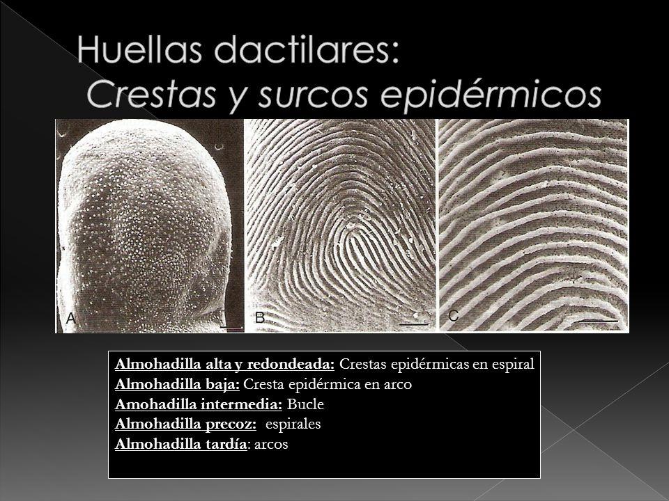 Huellas dactilares: Crestas y surcos epidérmicos
