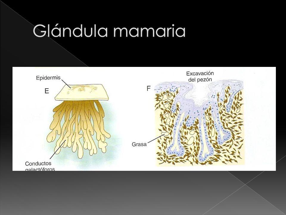 Glándula mamaria