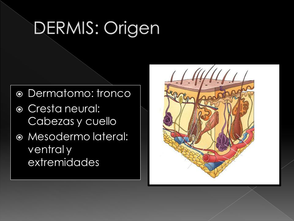 DERMIS: Origen Dermatomo: tronco Cresta neural: Cabezas y cuello