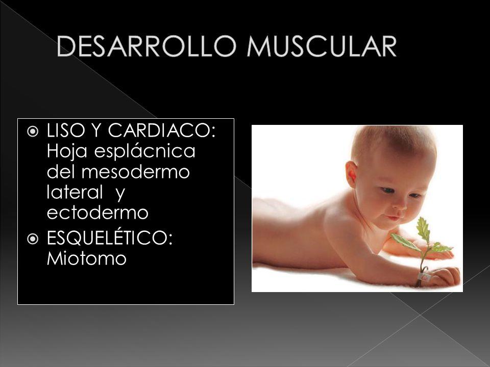 DESARROLLO MUSCULAR LISO Y CARDIACO: Hoja esplácnica del mesodermo lateral y ectodermo.