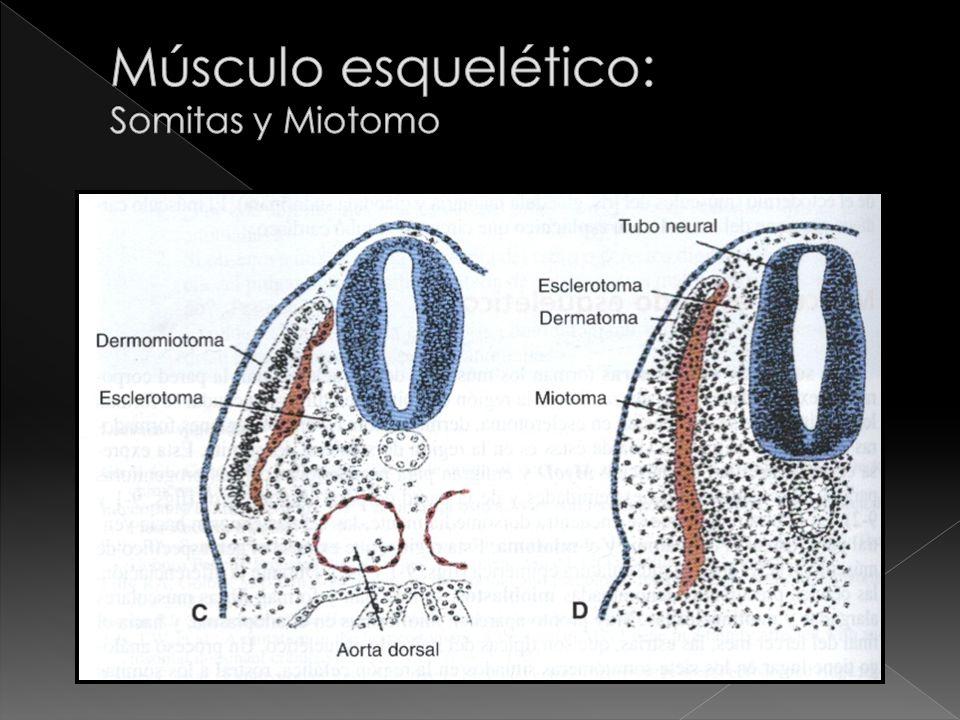 Músculo esquelético: Somitas y Miotomo