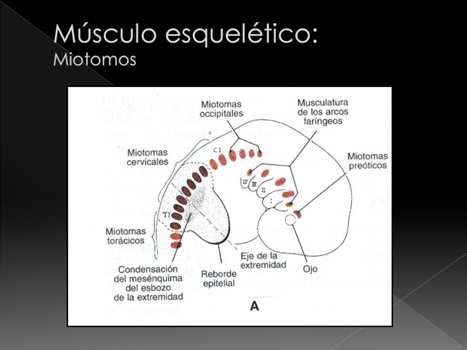 Músculo esquelético: Miotomos