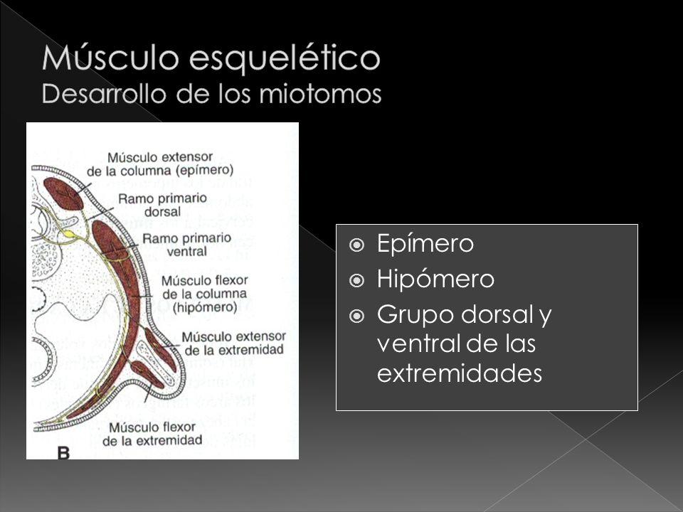 Músculo esquelético Desarrollo de los miotomos