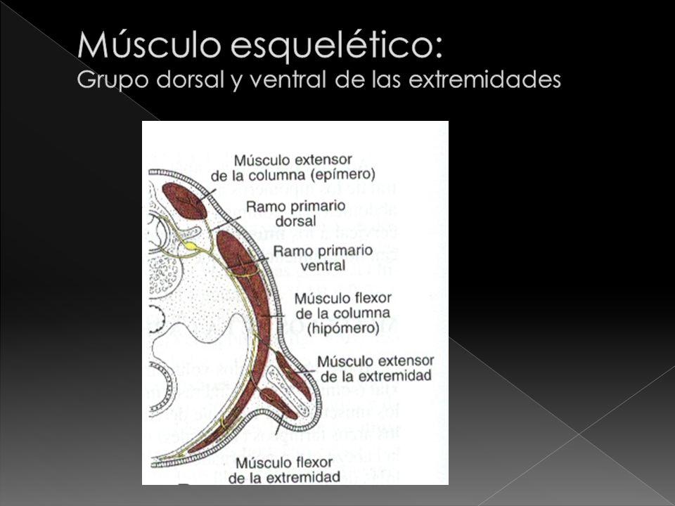 Músculo esquelético: Grupo dorsal y ventral de las extremidades