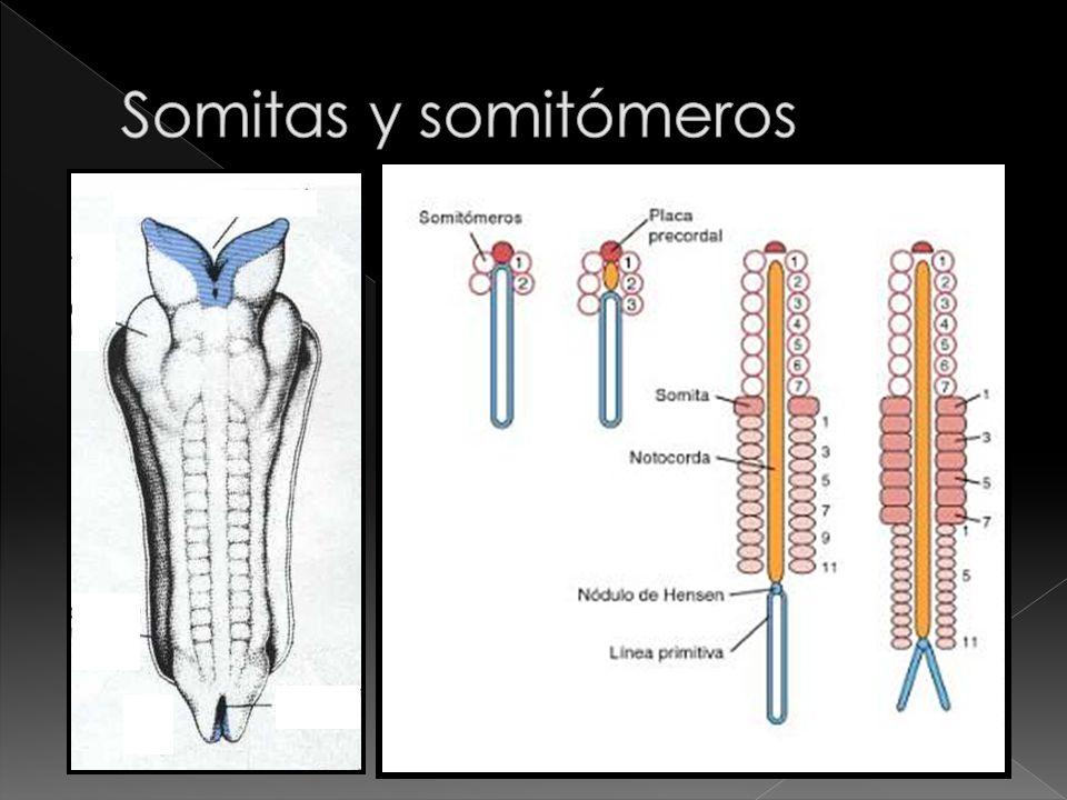 Somitas y somitómeros