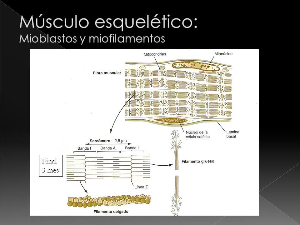 Músculo esquelético: Mioblastos y miofilamentos