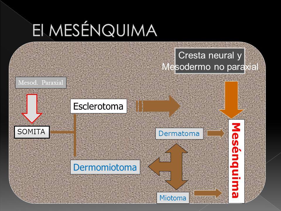 El MESÉNQUIMA Mesénquima Cresta neural y Mesodermo no paraxial