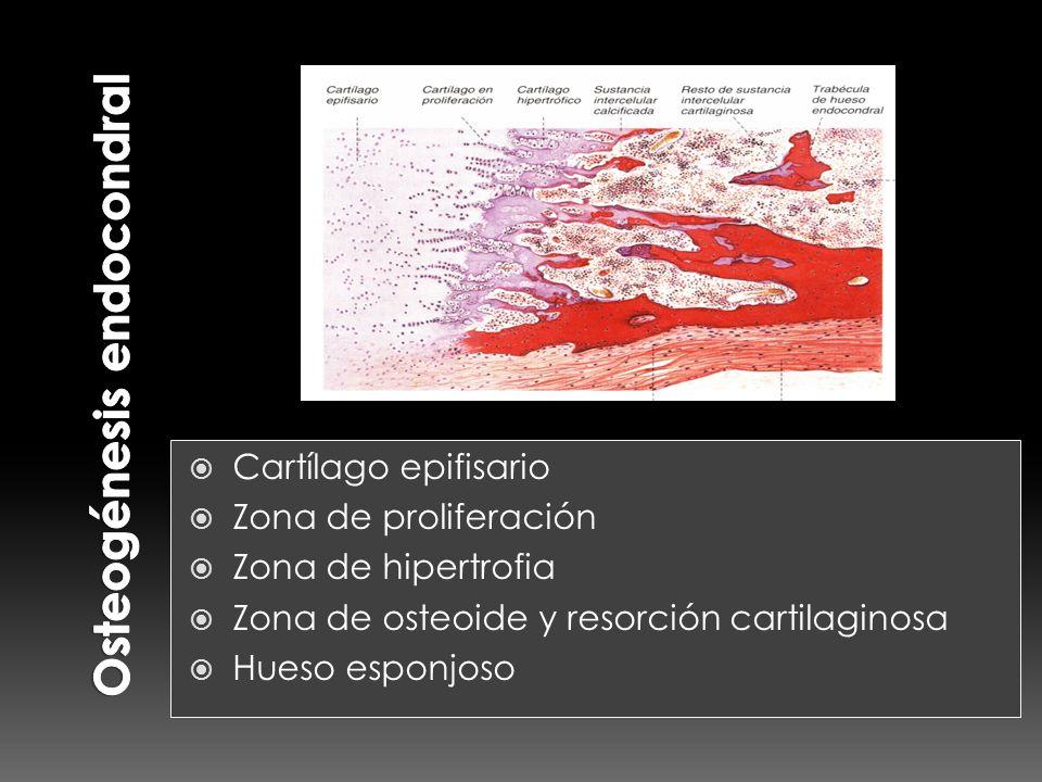 Osteogénesis endocondral