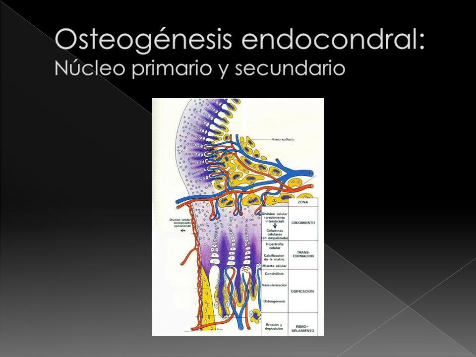 Osteogénesis endocondral: Núcleo primario y secundario