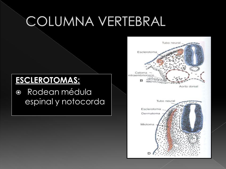COLUMNA VERTEBRAL ESCLEROTOMAS: Rodean médula espinal y notocorda