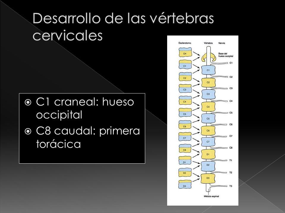 Desarrollo de las vértebras cervicales