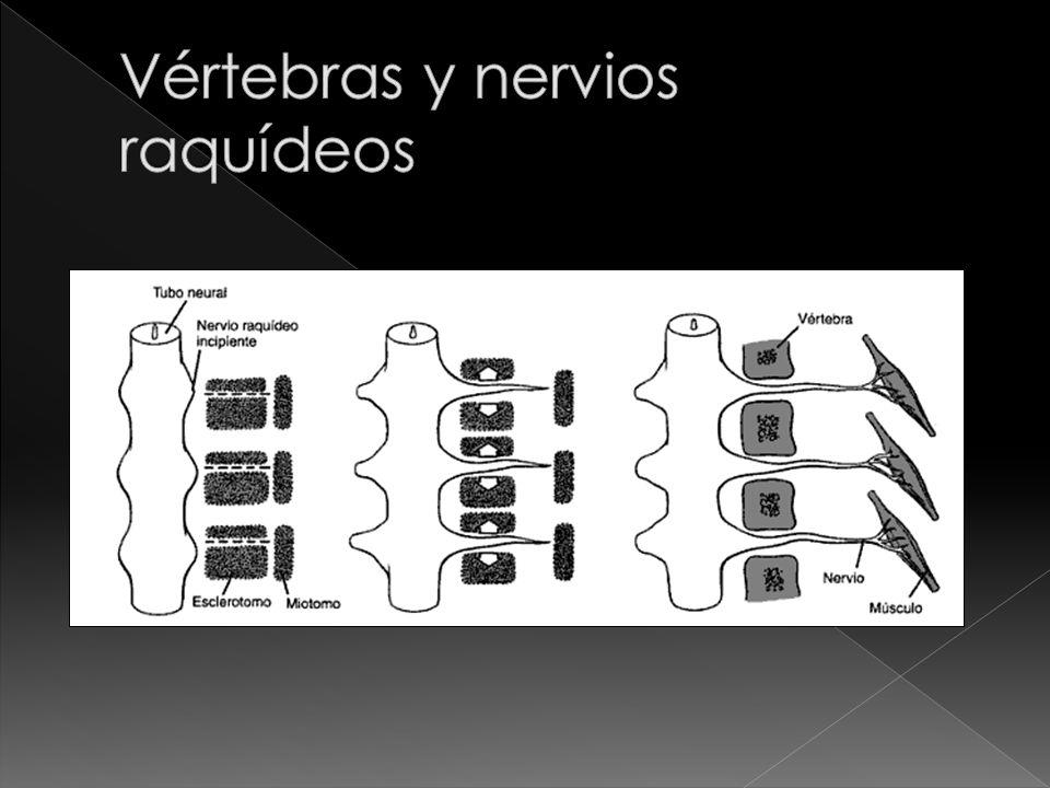 Vértebras y nervios raquídeos
