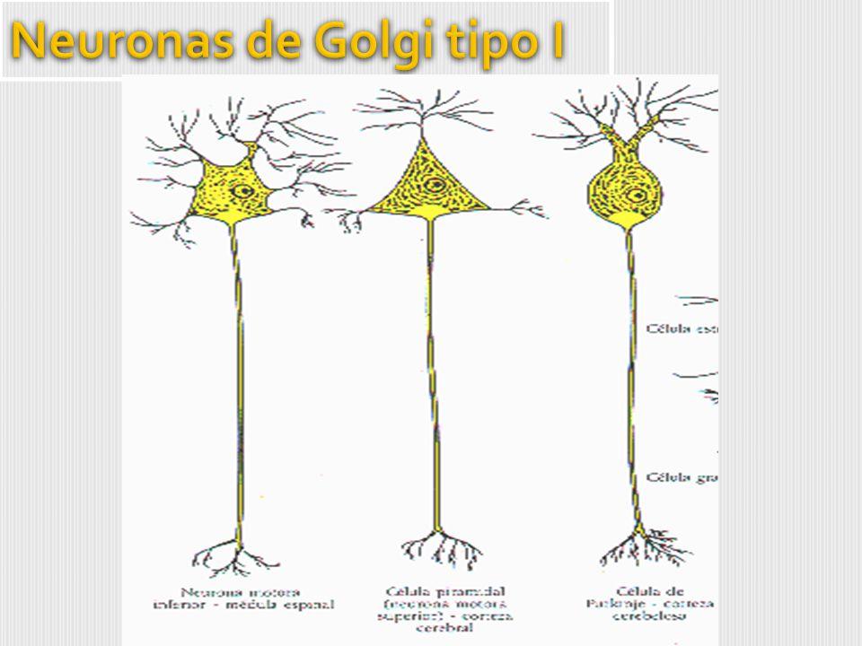Neuronas de Golgi tipo I