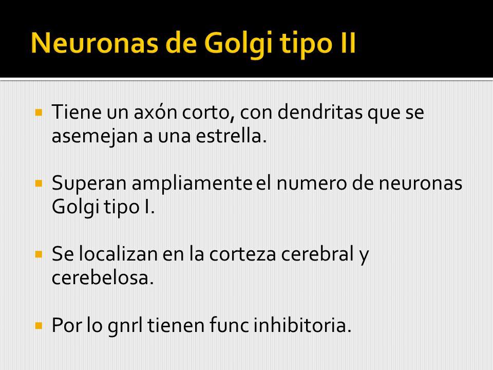 Neuronas de Golgi tipo II
