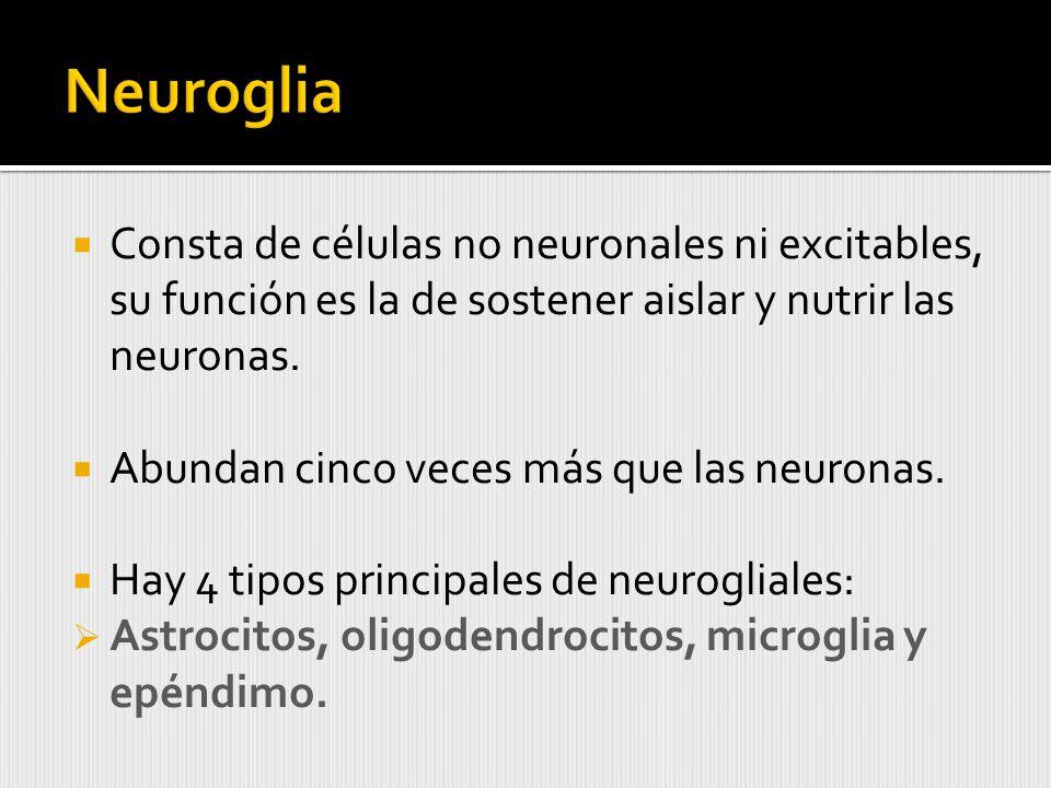 Neuroglia Consta de células no neuronales ni excitables, su función es la de sostener aislar y nutrir las neuronas.