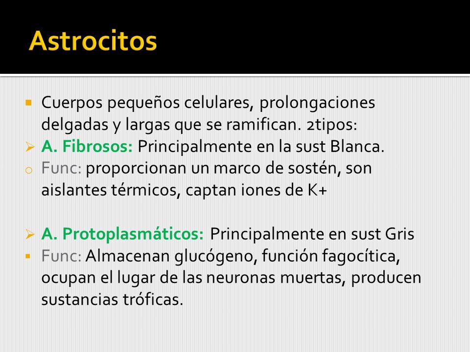 Astrocitos Cuerpos pequeños celulares, prolongaciones delgadas y largas que se ramifican. 2tipos: A. Fibrosos: Principalmente en la sust Blanca.