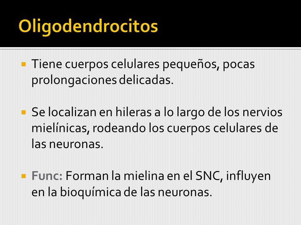 Oligodendrocitos Tiene cuerpos celulares pequeños, pocas prolongaciones delicadas.