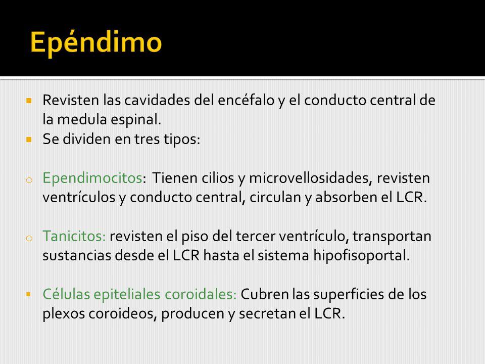 Epéndimo Revisten las cavidades del encéfalo y el conducto central de la medula espinal. Se dividen en tres tipos: