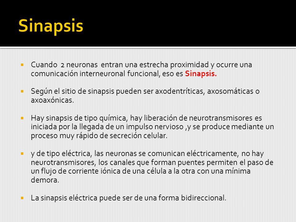 Sinapsis Cuando 2 neuronas entran una estrecha proximidad y ocurre una comunicación interneuronal funcional, eso es Sinapsis.