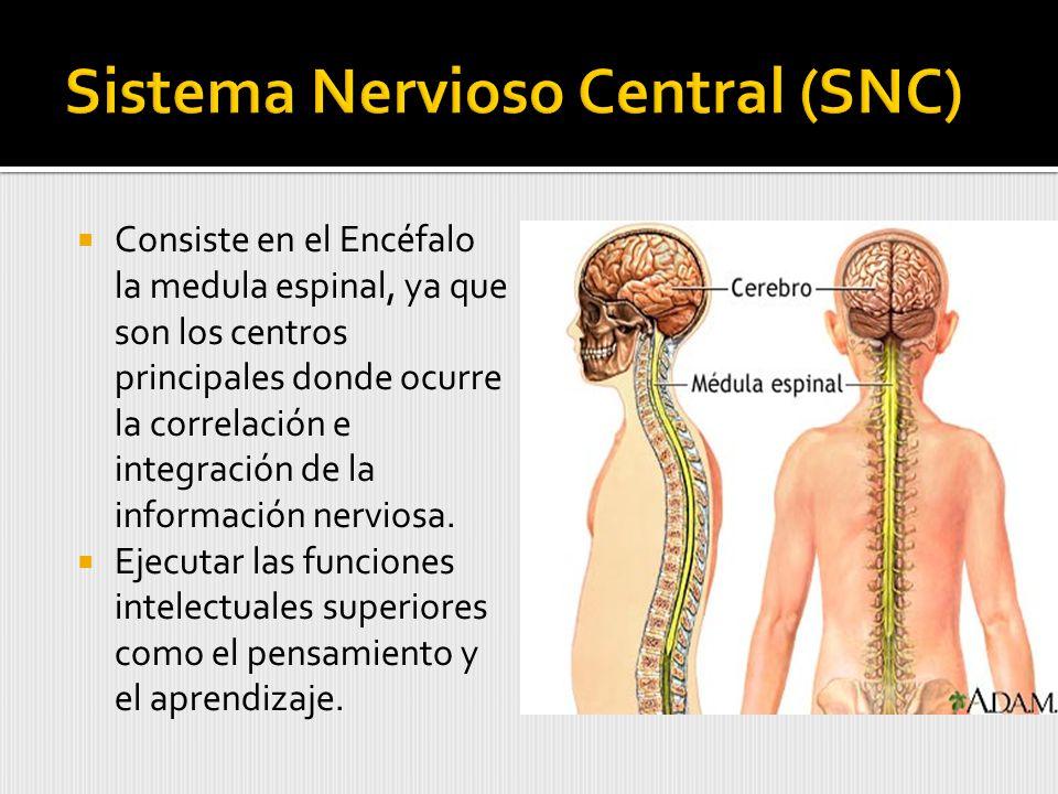Sistema Nervioso Central (SNC)