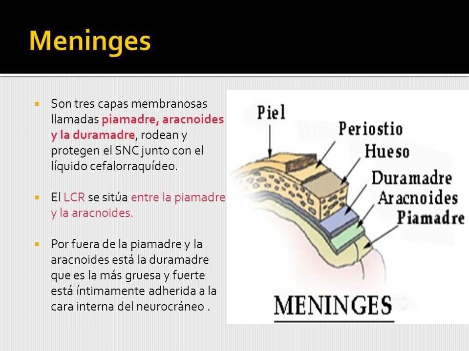 Meninges Son tres capas membranosas llamadas piamadre, aracnoides y la duramadre, rodean y protegen el SNC junto con el líquido cefalorraquídeo.