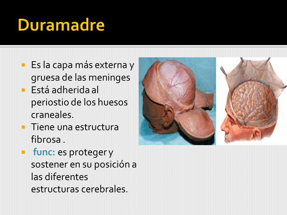 Duramadre Es la capa más externa y gruesa de las meninges