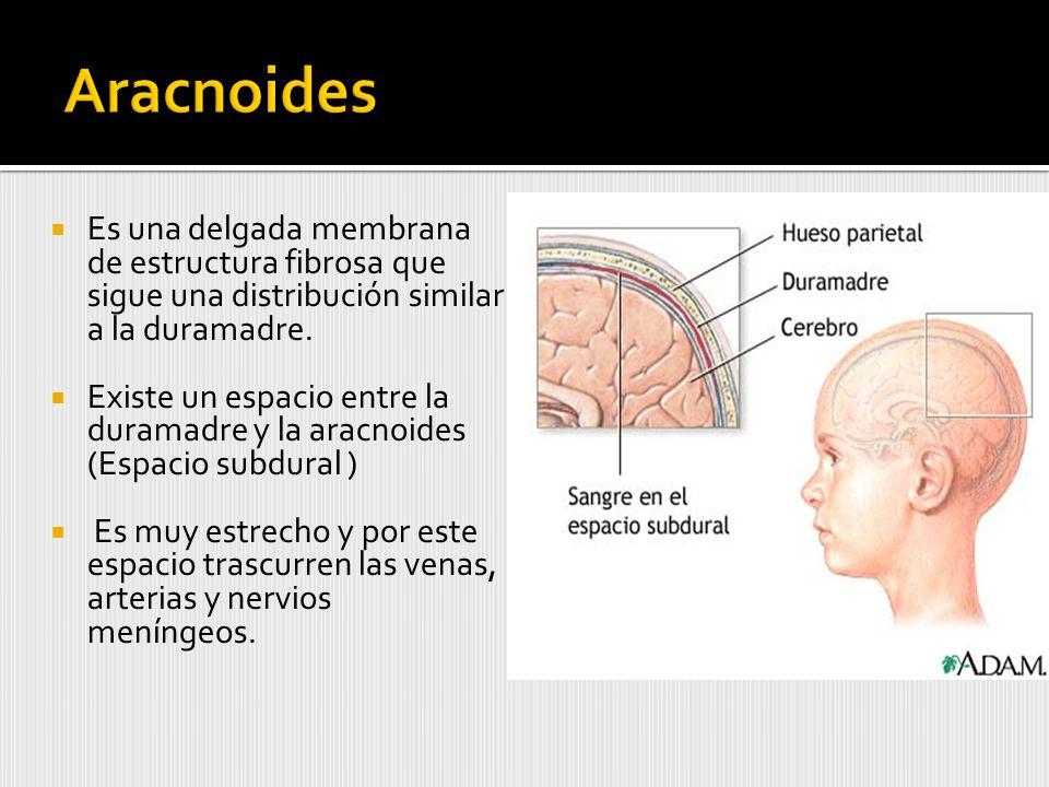 Aracnoides Es una delgada membrana de estructura fibrosa que sigue una distribución similar a la duramadre.