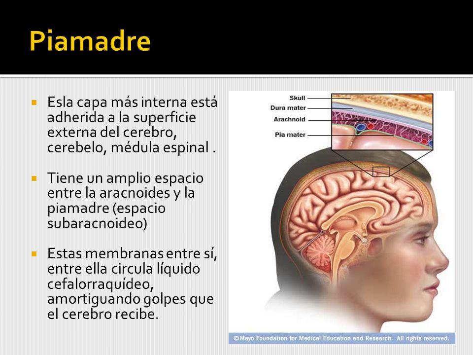 Piamadre Esla capa más interna está adherida a la superficie externa del cerebro, cerebelo, médula espinal .