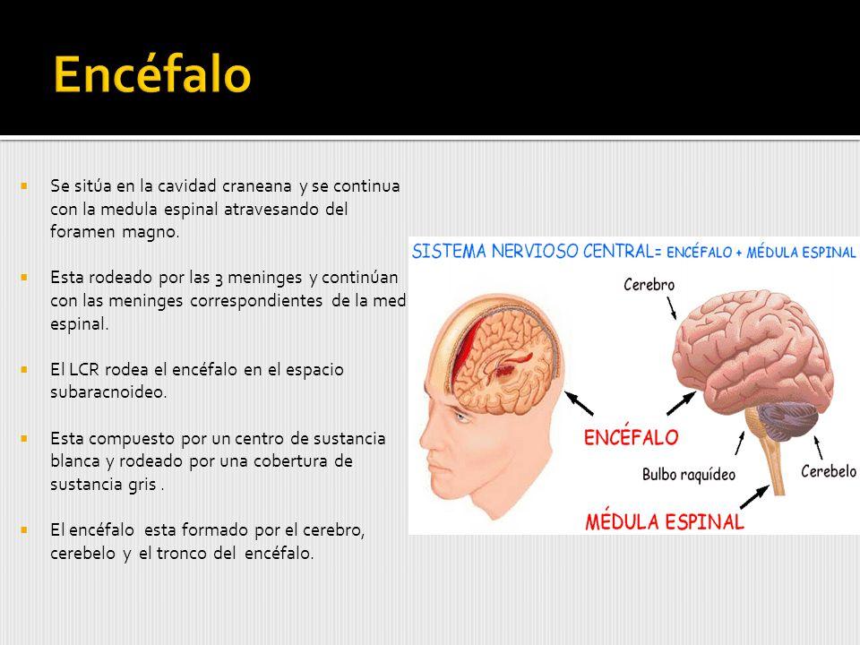 Encéfalo Se sitúa en la cavidad craneana y se continua con la medula espinal atravesando del foramen magno.